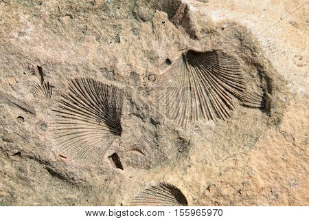 Fossil. Limestone with shell of fossilized bivalve mollusk