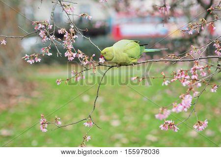 The view of the green rose-ringed (ring necked) parakeet Psittacula krameri eating flowers in the tree