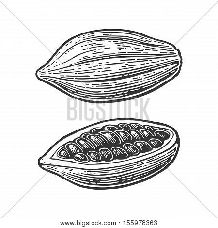 Fruits of cocoa beans. Vector vintage engraved illustration. Isolated on white background.