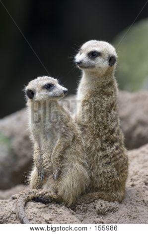Meerkats 1
