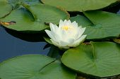 image of water lilies  - water lily and lily pads - JPG