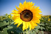 Sunflower And Bee On A Sunny Summer Day poster