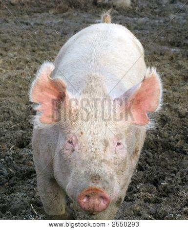 Young Pig Comes Close