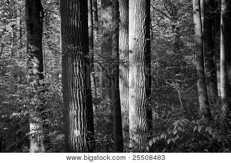 Hemlock Trees In Forest