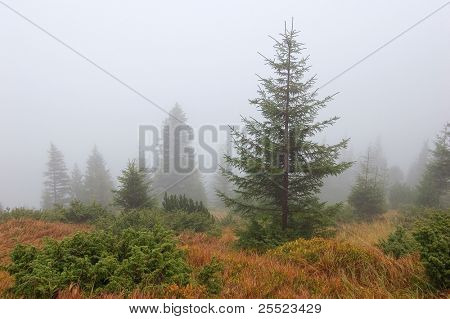Autumn fog and fur-trees in mountains. October