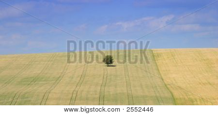 Single Tree In Grain Field