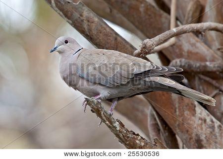 Eurasian Collard Dove (streptopelia Decaocto)