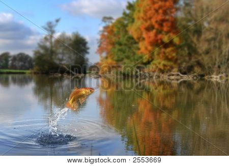 Jumping Gold Fish