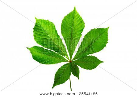 Green leaf chestnut