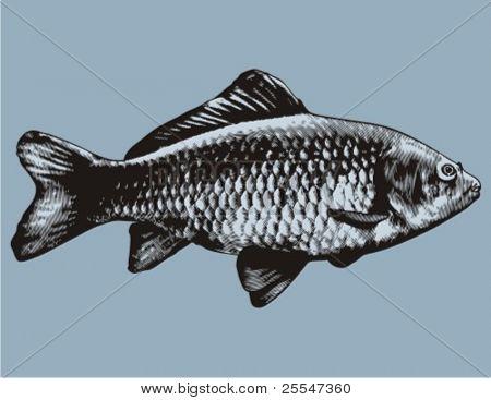 Carp - Cyprinus carpio. Common carp.