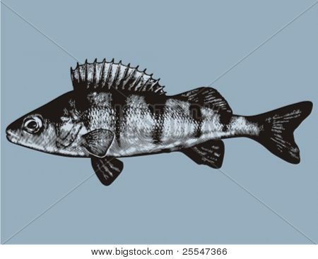 Vector isolated perch fish over blue background.