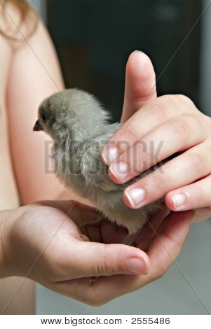 Chick In Child Hand