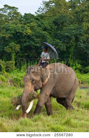 CHITWAN, NEPAL - OCTOBER 30: Local inhabitant rides on an elephant at Chitwan National Park october 30, 2010 in Chitwan, Nepal. The park was designated a Unesco World Heritage Site in 1984.