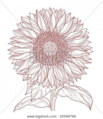 sunflower line art isolated on white background