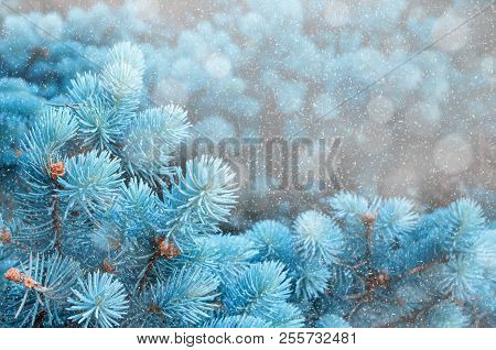 poster of Winter Landscape. Blue Pine Tree Branches Under Winter Snowfall, Closeup Of Winter Nature, Free Spac