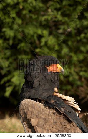 Bateleur Eagle Terathopius Ecaudata