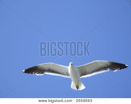 Blue Sky Seagull