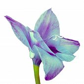 Flower Cyan Purple Gladiolus Isolated On White Background. Flower Bud Close Up. Flower Bud On A Gree poster