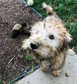 Very Dirty Small Irish Soft Coated Wheaten Terrier Puppy Who Has Been Digging In The Dirt. poster