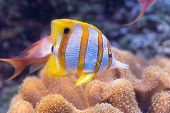 Fish Chelmon Rostratus, Banded Longsnout Butterflyfish. Saltwater Creature poster