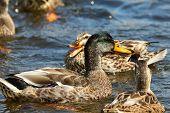 A Female Mallard Duck Quacking At A Drake poster