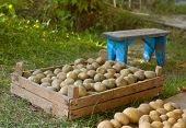 picture of potato-field  - Box with a potato on a grass - JPG