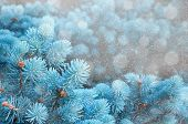 Winter Landscape. Blue Pine Tree Branches Under Winter Snowfall, Closeup Of Winter Nature, Free Spac poster