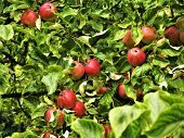 Red Apples Ripening In An Apple Tree With Green Leaves In An Orchard poster