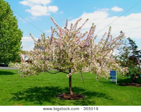 Ornamental Crabapple Tree In Bloom