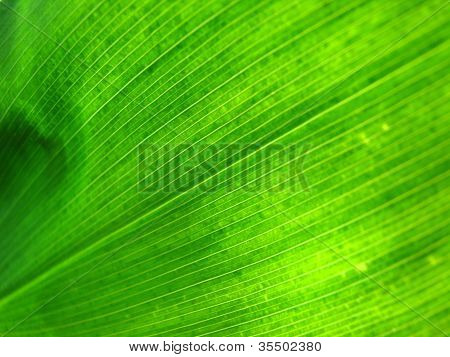 Green leaf lit from behind