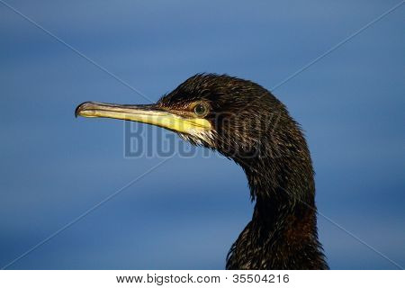 Shag Phalacrocorax aristotelis Profile