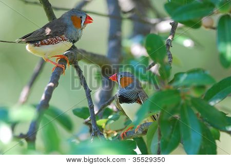 Zebrafinken (Taeniopygia Guttata)