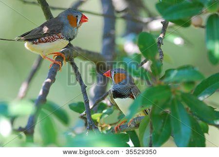 Pinzones cebra (taeniopygia Guttata)