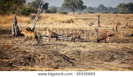 group of hyena at luangwa park zambia