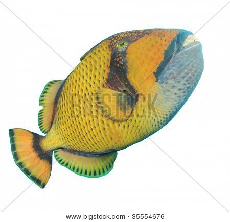 Titan Triggerfish isolated on white background