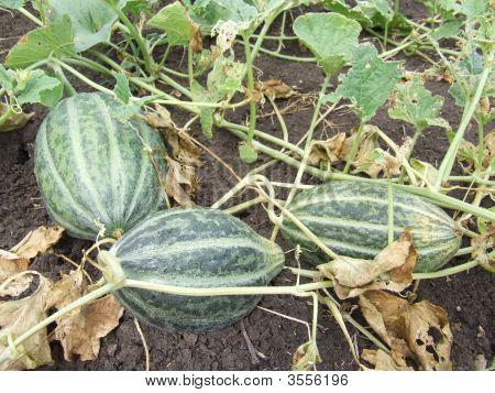 Three Castilla Melons
