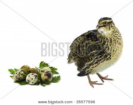 Quail with eggs  isolated on white background