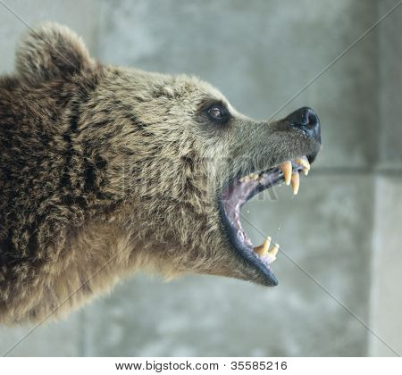 Screaming bear