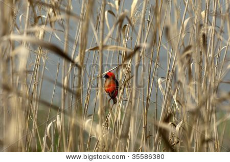 Male Southern Red Bishop