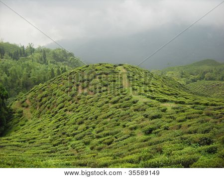 tea garden of Darjeeling west bengal india