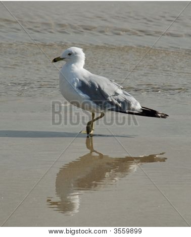 Seagull'S Reflection