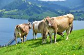 Swiss cows on Alpine meadow