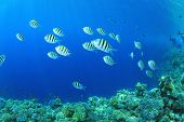 picture of sergeant major  - Sergeant Major Fishes on coral reef in the ocean - JPG