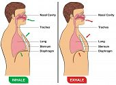 picture of sternum  - Respiration  - JPG