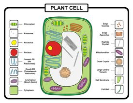 stock photo of lysosome  - Plant Cell - JPG