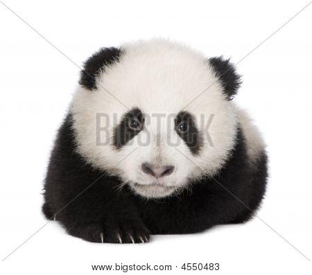 Giant Panda (4 Months) - Ailuropoda Melanoleuca