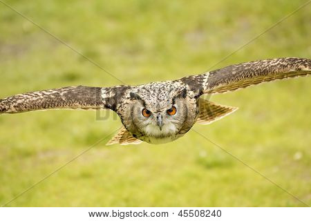 Flying Eagle Owl