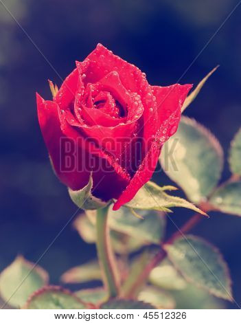 Beautiful Red Rose Vintage Styled