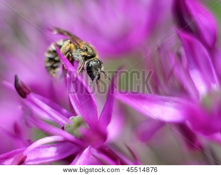 Tiny Solitary Bee on Allium Flowers