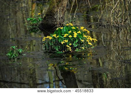 Buttercups in the water